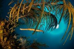 Trumpet-fisk under en korallmarkis med solbollen och blått vatten royaltyfria bilder