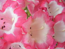 TRUMPET FLOWER. ON CLOSE-UP (MACRO Stock Photos
