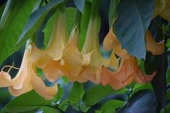 Trumpet formade blommor Arkivbild