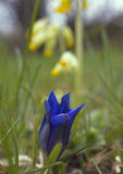 Trumpet gentian, cowslip in background. Trumpet gentian (gentiana clusii), one of the first flowers in spring with very short stem and large trumped-shaped royalty free stock image