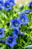 Trumpet gentiana blue spring flower in garden Royalty Free Stock Photography