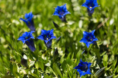 Trumpet gentiana blue spring flower in garden Royalty Free Stock Images