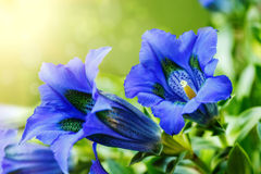 Trumpet gentiana blue spring flower in garden Royalty Free Stock Photos