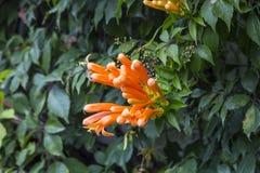 Trumpet honeysuckle vine with orange bloom. Trumpet honeysuckle vine with an orange bloom royalty free stock photography