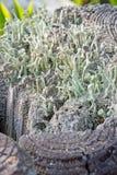 Trumpet lichen fungus Stock Image