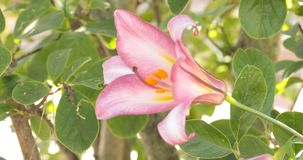 Trumpet Lily In A Garden. Nice pink trumpet lily from the variety Pink Perfection blooming in a garden in June stock video footage