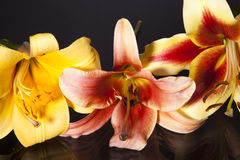 Trumpet lily trio Stock Image