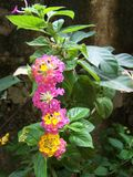 Trumpet multi colored tropical flowers Royalty Free Stock Photography