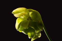 Trumpet pitcher flower on black background Royalty Free Stock Images