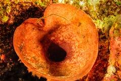 Trumpet sea Stock Image