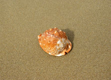 Trumpet seashell on the beach Royalty Free Stock Photography