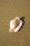 Trumpet seashell on the beach Stock Images