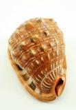 Trumpet seashell, big, on white background Stock Image
