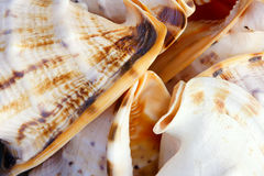 Trumpet shell stock image