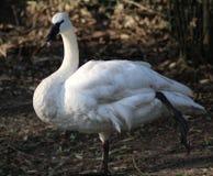 Trumpet swan Stock Photography