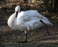 Trumpet swan Stock Image