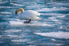 Trumpet Swan Floating on ice Royalty Free Stock Images