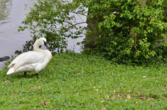 Trumpet swan Royalty Free Stock Photos
