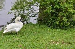 Trumpet swan Royalty Free Stock Photos