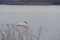A Trumpet Swan stock images