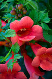 Trumpet Vine Blossoms Royalty Free Stock Photo