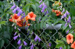 Trumpet Vine and Creeping Bellflower royalty free stock photo