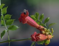 Trumpet Vine Flower And A Bumblebee Royalty Free Stock Photography
