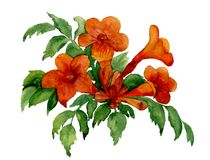 Trumpet vine flowers. Hand-drawn with watercolor, isolated on white royalty free illustration