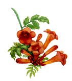 Trumpet vine flowers. Hand-drawn with watercolor, isolated on white stock illustration