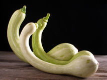 Trumpet zucchini, standing up. 3 trumpet zucchini from French Riviera standing up stock photos
