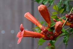 Trumpetare eller Campsis, flera röda blommor royaltyfri foto