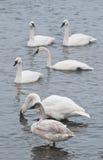 trumpetare för flockflodswans Arkivbilder