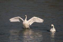 Trumpetaresvanar på floden Fotografering för Bildbyråer