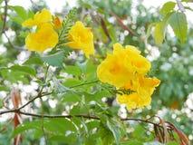 Trumpetbush giallo, anziano giallo, Trumpetbush, Trumpetflower, tromba-fiore giallo Fotografie Stock
