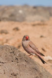 Trumpeter Finch Stock Images