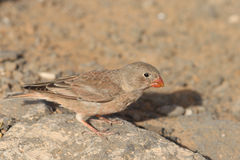 Trumpeter Finch Royalty Free Stock Image