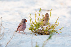 Trumpeter finch. Holding seed in beak standing on a white sand next to a green plant stock image