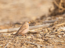 The Trumpeter Finch in winter Stock Image