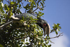 Trumpeter Hornbill στο φυσικό βιότοπό του Στοκ Εικόνες