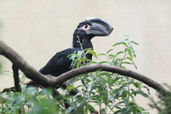 Trumpeter hornbill Royalty Free Stock Images