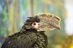 Trumpeter Hornbill. (Bycanistes bucinator) close up Stock Photos