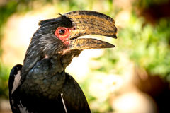 Trumpeter hornbill (Bycanistes-bucinator) Royalty Free Stock Image