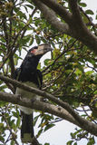 Trumpeter hornbill (Bycanistes-bucinator) Royalty Free Stock Photo
