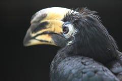 Trumpeter hornbill Stock Photo