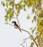 Trumpeter Hornbill Stock Photos