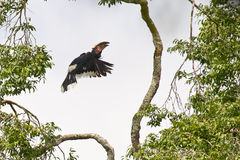 Trumpeter Hornbill flying up Royalty Free Stock Image