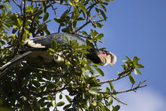 Trumpeter Hornbill in its natural habitat Stock Photography