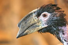 Trumpeter Hornbill Stock Photography