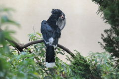 Trumpeter hornbill Royalty Free Stock Photos