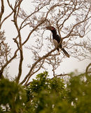 Trumpeter Hornbill on a tree Stock Photos